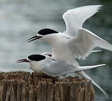 It's Our Tern To Mate - White-Fronted Terns - NZ by AndreaEL