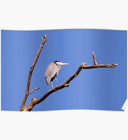 Great Blue Heron in dead treetop 2 Poster