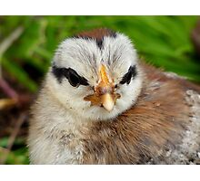 Dad Lives On Through Us! - Silver Duck Wing Chick - NZ Photographic Print