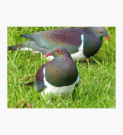 Join The Feast - Stewart Island Wild Wood Pigeon - Kererū  Photographic Print