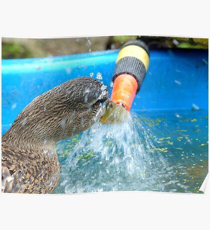I'll Get To The Source... - Mallard Ducks - NZ Poster