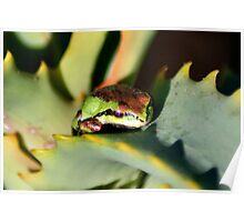 beautiful frog on succulent Poster