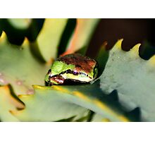 beautiful frog on succulent Photographic Print