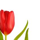 Red Tulip by argmoth