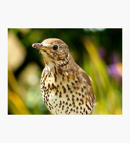 Four Hungry Mouths To Feed... Phew!!! -Song Thrush - NZ Photographic Print
