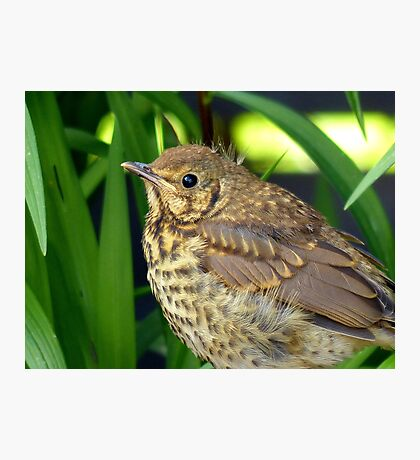 I'll Be All Grown Up When I Shake Off This Bit Of Fluff... - Song Thrush - NZ Photographic Print