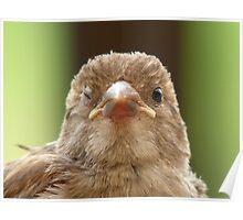 Wink...Wink... Sparrow - NZ Poster