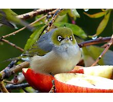 Merry Christmas To You...Silver-Eye - NZ Photographic Print