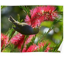 I Know It's In Here Somewhere!! - Silver-Eye On Bottle Brush - NZ Poster