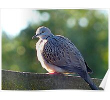 """I've Arrived At """"Tranquillity"""" - Spotted Dove - NZ Poster"""