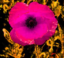 Pink poppy by nick pautrat