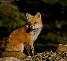 Red Fox by Fox-Images