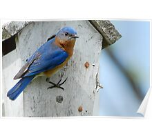 Bluebird Defends his Territory Poster