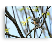 Frenzied Bluebird Female Canvas Print