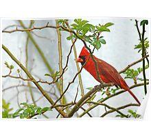 Peek-A-Boo Redbird Poster