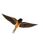 Swallow in flight.  by Graepear