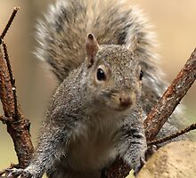 Grey Squirrel by Gaby Swanson  Photography