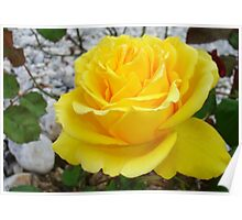 Beautiful Yellow Rose with Natural Garden Background Poster
