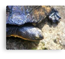 Eastern Long Neck Turtle (Chelodina longicollis)  Canvas Print
