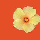 Hibiscus by Ferguson