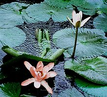 Tahitian Lily by sandhill