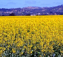 Fields of Gold by Kelly Lewis