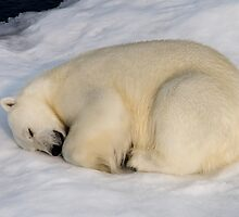 Sleeping Polar Bear by Kevin Tappenden