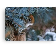 Red Squirrel in Spruce tree - Ottawa, Ontario - 2 Canvas Print