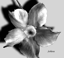 Dipladenia in Shadow by Rosemary Sobiera