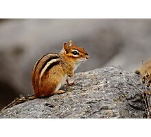 Eastern Chipmunk - Ottawa, Ontario Photographic Print