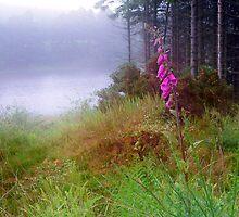 Foxglove in the mist by Douglas Robertson