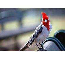 Crested Cardinal 1 Photographic Print
