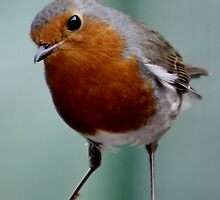 WHEN THE RED ROBIN COMES BOBBIN' ALONG (written by Harry Woods ) by AnnDixon