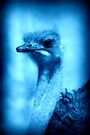 Electric Blue Emu Portrait by Lesley Smitheringale
