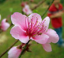 peach tree bloom by tomcat2170