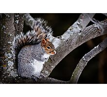 Grey Squirrel in Tree - Ottawa, Ontario Photographic Print