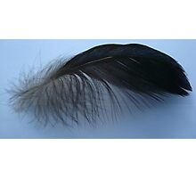 Muscovy feather Photographic Print