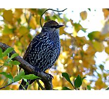 I Stand Out In Autumn Colours - Starling - NZ Photographic Print