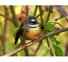 A Life With Love Will Have Some Thorns - Fantail - NZ Photographic Print