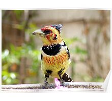 I'm Unmistakeable - Crested Barbet - South Africa Poster