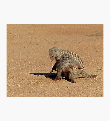 Aww... Aren't You Going To Share That!! - Banded Mongoose - Mabalingwe Nature Reserve Photographic Print