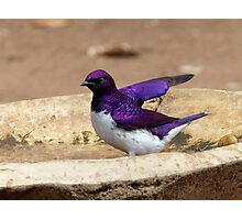 Nature Used Only The Best Paint - Violet-Backed Starling - SA Photographic Print