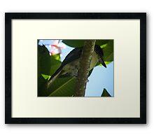 Butcher Bird Framed Print