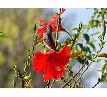 Hibiscus Heaven - Sunbird - SA Photographic Print