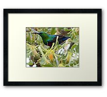 A Sweet Treat - Red-Chested Sun-bird SA Framed Print