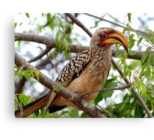 I'm Not Photogenic!! - Southern Yellow-Bill Hornbill - SA Canvas Print