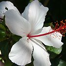 Hibiscus - apple blossom by Maggie Hegarty