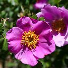 Rugged Rugosa Rose by David DeWitt
