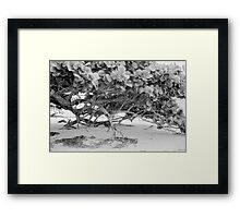 Seagrape Framed Print