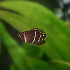 Chocolate Gourami by AndyV